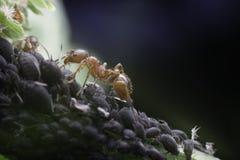 蚂蚁和蚜虫 免版税库存照片