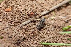 蚂蚁和deat昆虫 免版税库存照片