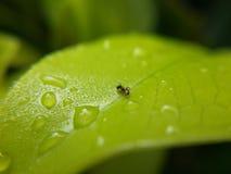 蚂蚁在叶子的水下落 免版税图库摄影