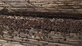 蚂蚁在木筑巢-爬行在木老房子的火蚂蚁 股票录像