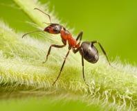 蚂蚁在草的胶木rufa 免版税图库摄影