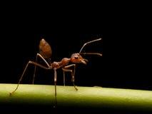 蚂蚁在黑背景中 库存图片