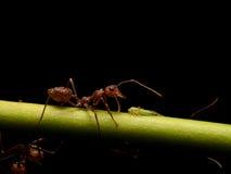 蚂蚁在黑背景中 库存照片