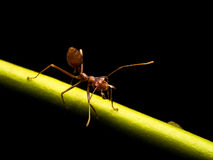 蚂蚁在黑背景中 免版税库存图片