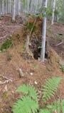 蚂蚁巢在山毛榉森林里 免版税库存照片