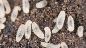 蚂蚁幼虫,极端接近  免版税库存照片