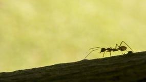 蚂蚁想知道 免版税库存图片
