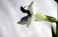 蚂蚁推了他的头对小白色喇叭花 库存图片