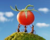 蚂蚁收获红色小组工作 免版税库存照片