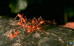 蚂蚁是昆虫 库存图片