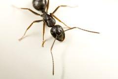 蚂蚁木匠 库存照片