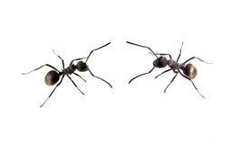 蚂蚁查出的白色 图库摄影