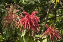 蚂蚁树或Triplaris Brasiliensis美丽的红色花  免版税库存照片