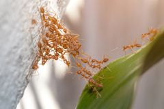 蚂蚁桥梁团结队 库存图片