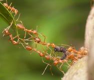 蚂蚁桥梁团结 图库摄影