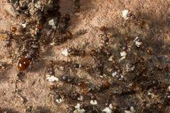 蚂蚁殖民地 免版税库存图片