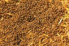 蚂蚁殖民地 库存图片
