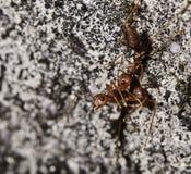 蚂蚁火 库存照片