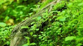 蚂蚁爬行 绿草在狂放的森林里,宏观射击 股票录像