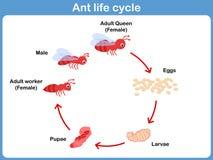 蚂蚁的传染媒介周期孩子的 库存照片