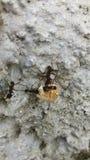 蚂蚁的合作在采取玉米的五谷水泥看起来 免版税库存照片