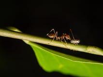 蚂蚁的和蚜虫属世界 免版税库存照片