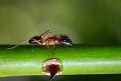 蚂蚁的图象在自然背景的 昆虫 敌意 库存照片