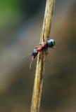 蚂蚁看守人 库存照片