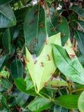 蚂蚁筑巢它的织布工通过一起加入树的绿色叶子做 库存照片