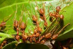 蚂蚁红色小组工作 免版税库存图片