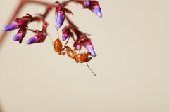 蚂蚁红色 库存照片