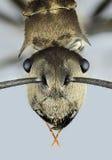 蚂蚁纵向 图库摄影