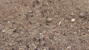 蚂蚁线繁忙在他们的巢附近 影视素材