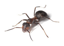 蚂蚁背景马查出的白色 免版税库存图片