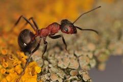 蚂蚁胶木 免版税库存图片