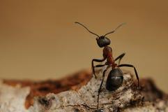 蚂蚁胶木rufa南部的木头 免版税库存图片