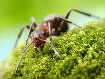 蚂蚁胶木rufa 库存照片