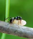 蚂蚁茧 库存图片