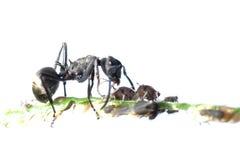 蚂蚁蚜虫共生 免版税图库摄影