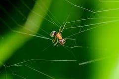 蚂蚁蜘蛛被困住的万维网 免版税库存图片