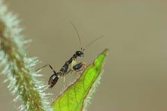 黑蚂蚁螳螂 库存图片