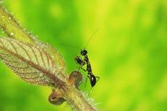 黑蚂蚁螳螂 免版税库存图片