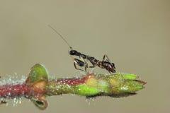 黑蚂蚁螳螂 免版税库存照片