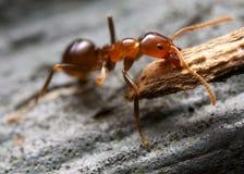 蚂蚁褐色 免版税库存图片
