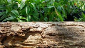 蚂蚁赛跑和工作在老木桥梁有阳光的,绿色na 免版税库存图片