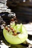 蚂蚁野餐 库存照片