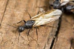 蚂蚁飞过的木匠特写镜头 免版税库存照片