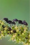 蚂蚁黑色 免版税库存照片