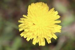 蚂蚁,花,黄色,外部,模糊的背景 免版税库存图片