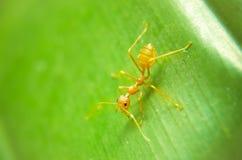 蚂蚁绿色叶子 免版税库存图片